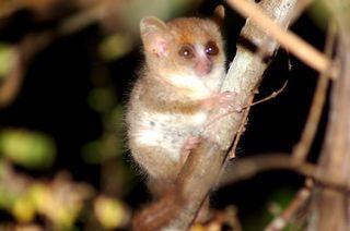 madagascar-mouse-lemur-110605