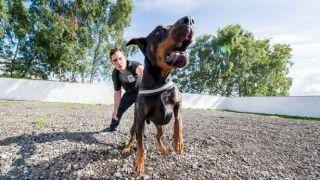 burglar guard dog Drago takes down intruders