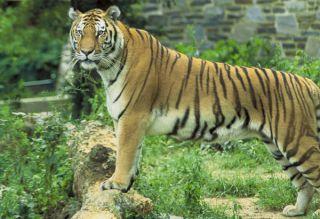 tiger-101123-02