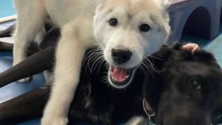 puppy thrown out of daycare for lying on dogs