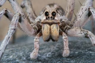 a male wolf spider