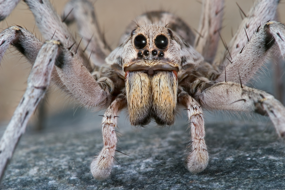 Wolf Spiders Bites Babies Other Facts Live Science
