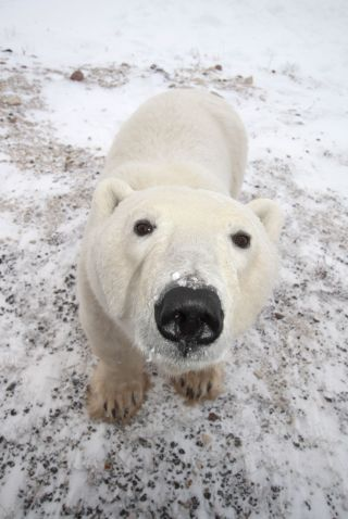 polar bear, arctic,