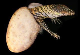 Female Komodo Dragon Has Virgin Births | Live Science