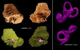 Ancient Human's Neanderthal-like Inner Ear