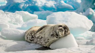 A crabeater seal rests in Antarctica.