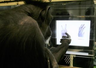 "A chimpanzee named Ai chooses ""scissors"" out of ""scissors-paper."""