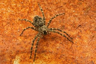Fishing spiders like this one, <em>Dolomedes tenebrosus</em>, live near the water and are known to sometimes snag small fish and aquatic insects there.