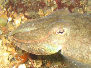 Common cuttlefish in yellow