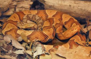 a copperhead snake with her offspring