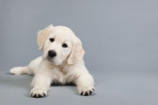 golden retriever puppy on grey background