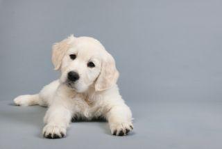 golden retriever puppy on grey background