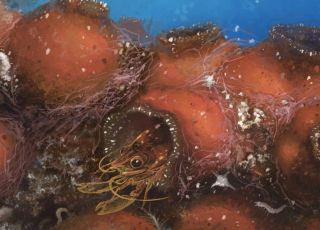 This hairy-limbed shrimp (<em>Odontonia bagginsi</em>) lives inside a sea squirt.