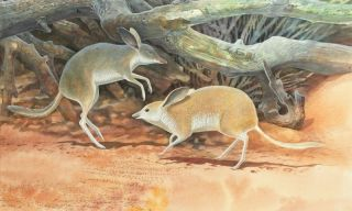 pigfooted bandicoot, pig-footed bandicoot