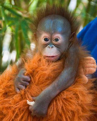 orangutans, great apes, houston zoo, zoo babies, primates, bornean orangutan