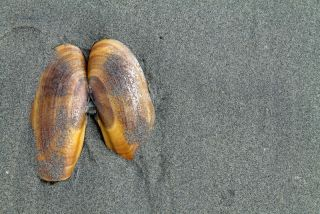 The shell of a razor clam.