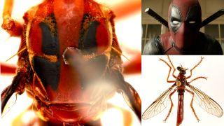 A new fly named for Marvel's Deadpool