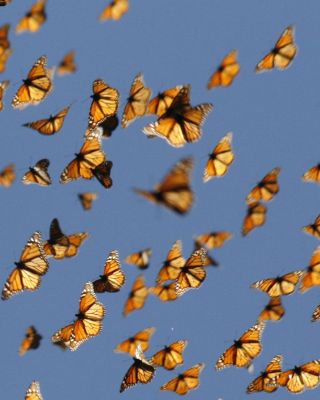 Migrant monarch butterflies in mid-air as they travel south.