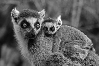 A ring-tailed lemur and its baby are endangered primates that can only be found in the wild in southern Madagascar.