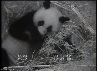 Giant panda with newborn cub.