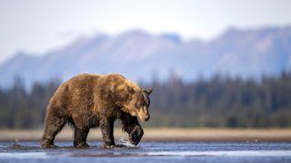 how to use bear spray: bear in the backcountry