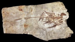 <i>Microraptor</i> specimen fossil