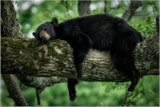 great smoky mountains, black bears, cute animal