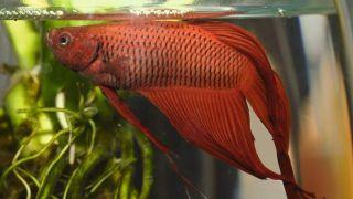 Choose the right pet fish