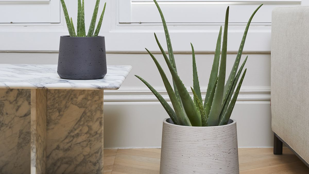 How to grow aloe vera: tips on growing and caring for aloe plants indoors and out
