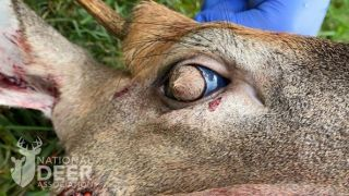 Close-up of deer head, the right eye is shown and has a circle of hair covering the cornea