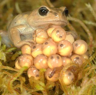 A female Bryophryne cophites attending her eggs.