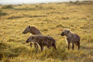 Spotted hyenas in Animal Babies: First Year on Earth