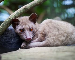 An Asian palm civet sits curled up with its legs under it.
