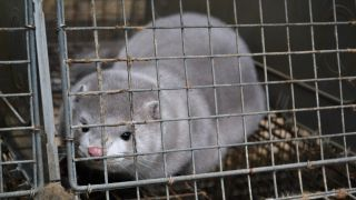 mink sitting in cage