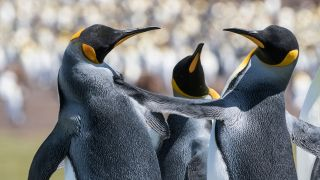 These Penguins appear to be celebrating