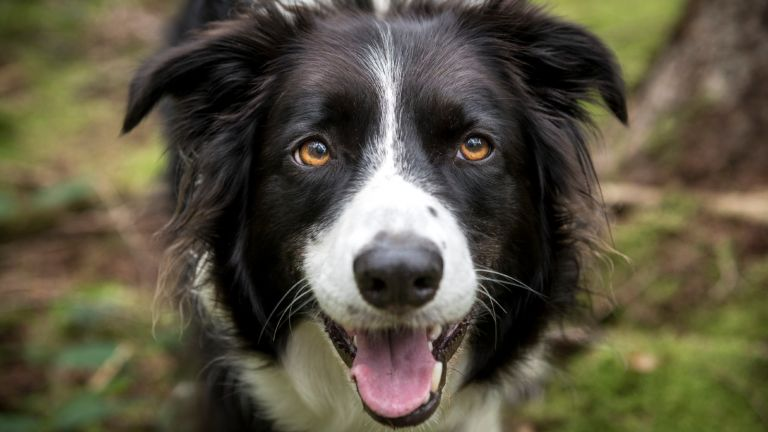medium dog breeds: border collie