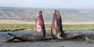 Male elephant seals fight.