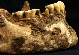 Mandible of ancient roman