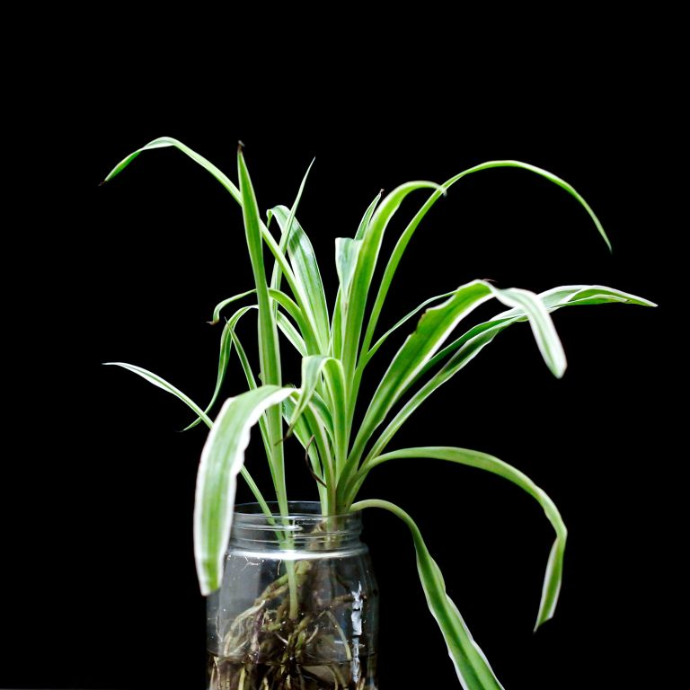 Spider plant propagation in a clear jar