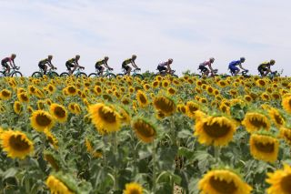 The peloton pass by the sunflowers during stage 11