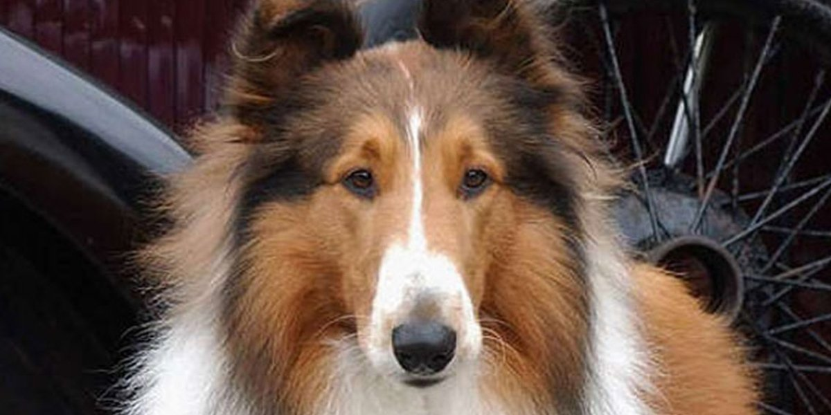 The title canine of 2005's Lassie