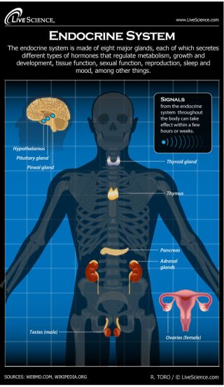 Human Endocrine System Diagram How It Works Live Science