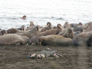 Walrus mass migration due to shrinking sea ice