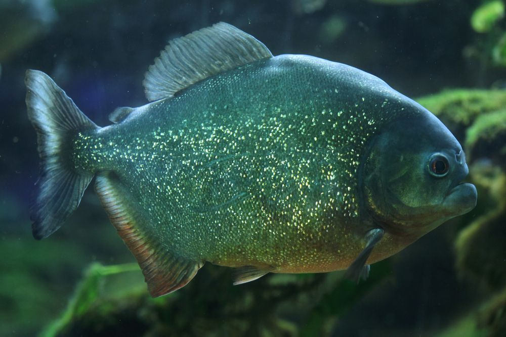 Facts About Piranhas | Live Science