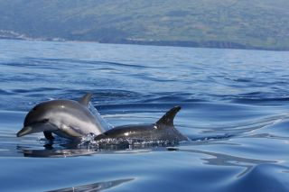 striped dolphins in the ocean