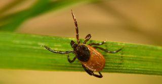 A tick waiting on a blade of grass.