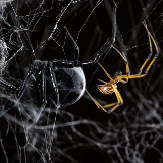 Female and male black widow on a web