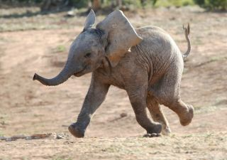 excited baby elephant running.