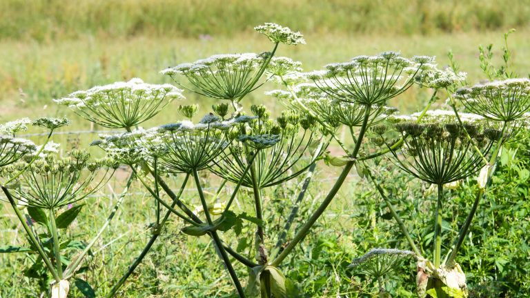 giant hogweed plants