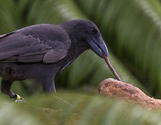 Hawaiian Crow Using Stick as Tool